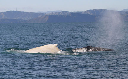 Rare White Whale Makes Surprise Appearance in New Zealand