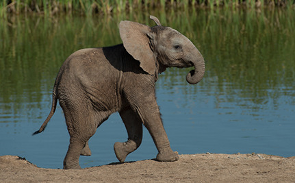 daily cute baby elephant chases birds care2 causes