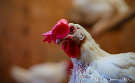 1,500 Hens Rescued From Egg Farm During Operation Liberate Libby