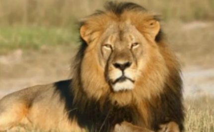 Will Ending Trophy Hunting Save Africa's Lions?