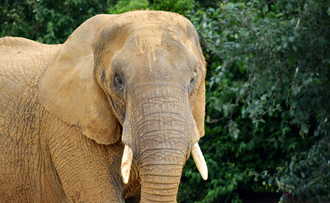 At 27000, elephant population in India 'stable' since 2012