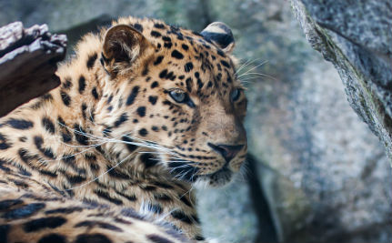 The World's Most Endangered Wild Cat Is Bouncing Back