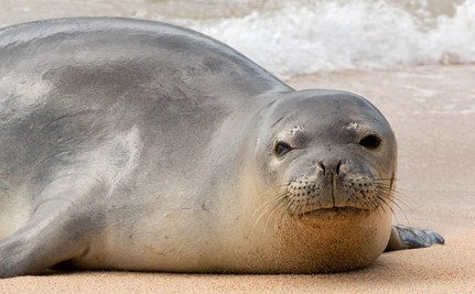 Critically Endangered Seals Get a Boost in Hawaii