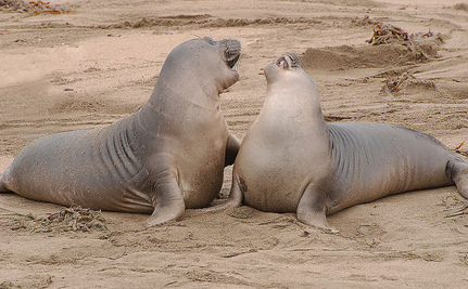 How Elephant Seals Play a Part in Adding Mercury to Our Oceans
