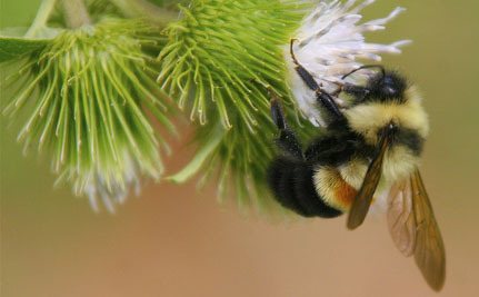 Disappearing Bumble Bee is One Step Closer to Getting Protection