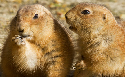 Care2 Success! Prairie Dogs Saved from Death at Naropa University