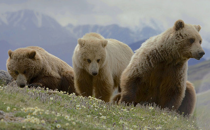 Don't Delist Yellowstone National Park's Last 757 Grizzly Bears