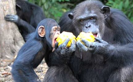 Boat Loads of Food Shared by Hungry Chimpanzees Abandoned by NY Blood Center