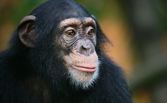 Success! NIH Will Retire Its Last 50 Research Chimps