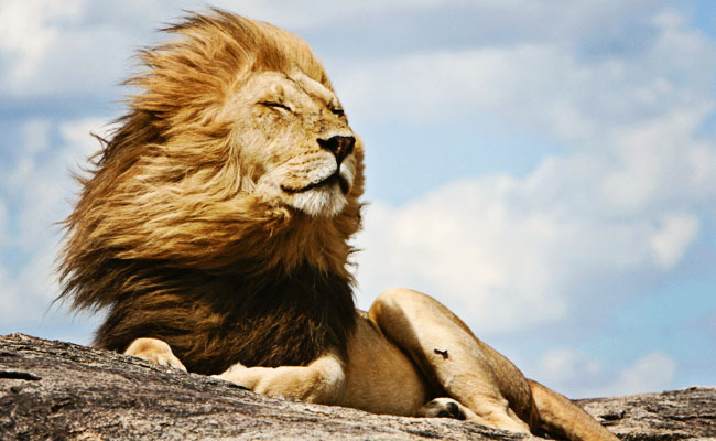 Success! African Lions Get Endangered Species Protection