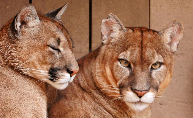 Rep. Buchanan Calls For Florida Panther Critical Habitat   Care2 ...