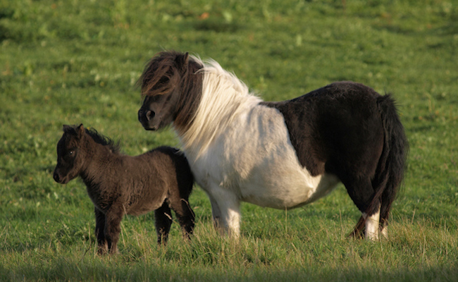 Are Mini Horses The New Mini Pigs Care Causes - Adorable miniature horses provide those in need with love and care