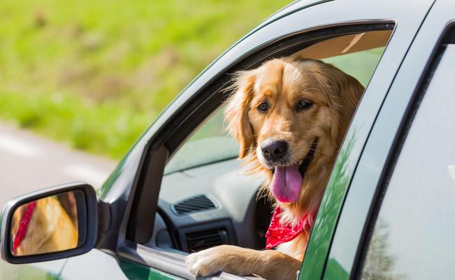 Image result for dog in car