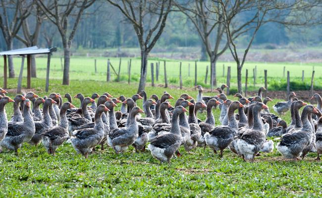 canada goose foie gras