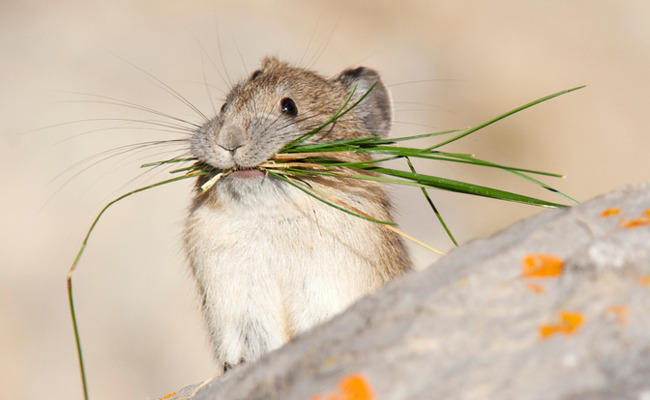 American Pikas are Disappearing and Climate Change is to Blame — ALERT