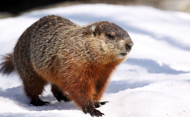 15 fascinating facts about groundhogs care2 causes