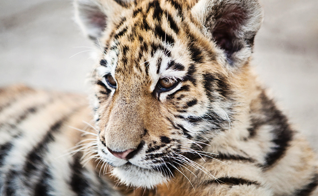 success florida zoo was ordered to stop forcing baby tigers to swim
