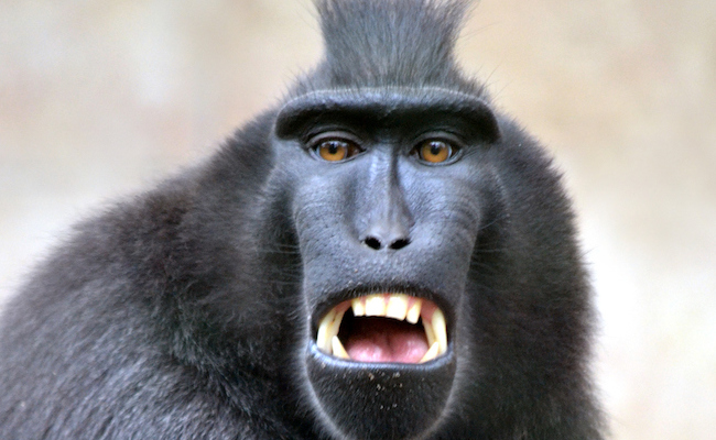 Should a monkey own the rights to his selfie photo care2 causes should a monkey own the rights to his selfie photo voltagebd Choice Image