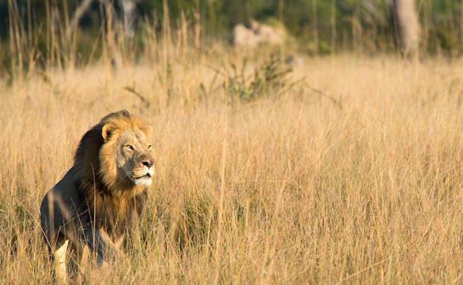 Cecil the Lion's son Xanda shot dead at Hwange National Park