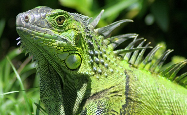 Watch for Falling Iguanas! Bomb Cyclone Drops Frozen Lizards
