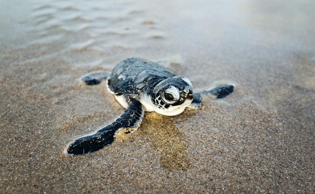 Warm Temperatures Turning Sea Turtle Population Almost Entirely Female
