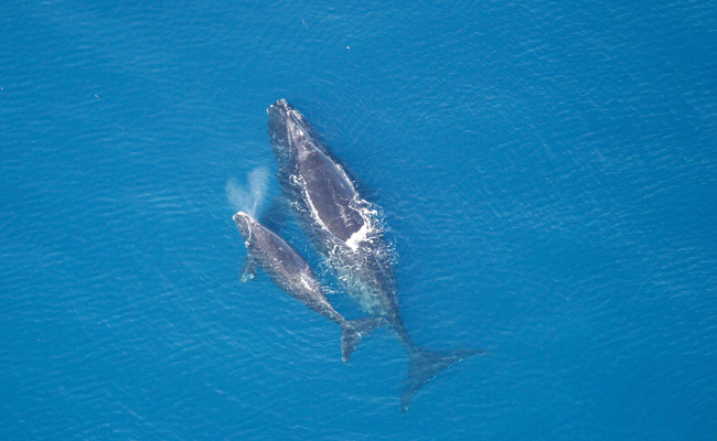 Breeding crisis as no North Atlantic right whales born this year