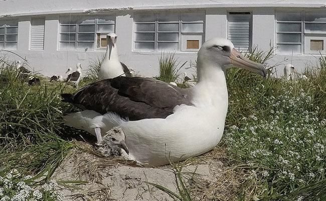 Laysan albatross homosexuality in japan
