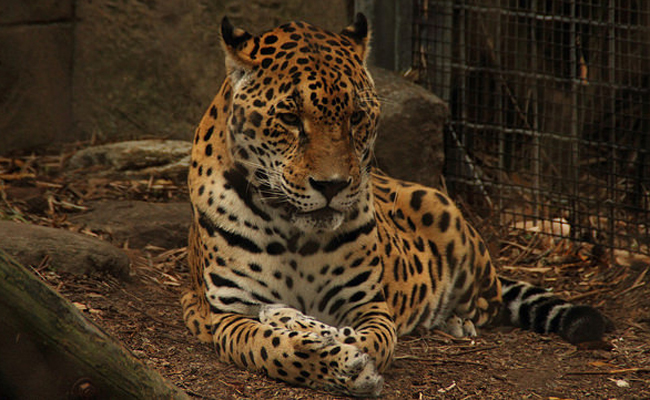 Escaped Jaguar Kills 9 Animals At New Orleans Zoo