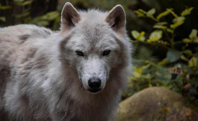 Image result for Wolf gives birth in Oregon's Cascade Mountains