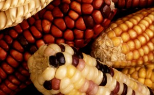 American corn