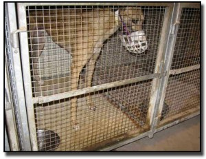 Caged greyhound at Tucson Greyhound Park