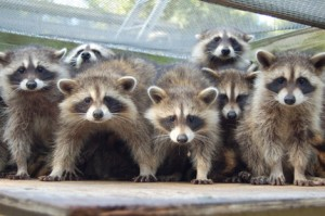 Summer_2008_Raccoon_Group