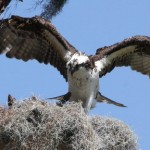 Osprey in the nest.