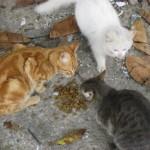 Avsallar cats (19)