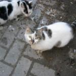 Avsallar cats (34)