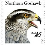 goshawk-2012-birds-of-prey