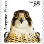 peregrine-falcon-2012-birds-of-prey
