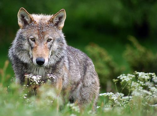 Wild wolf in Scotland