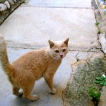 "Cat #3 for Adoption: This rare female ginger cream colored cat is ""a doll"". She can't get enough attention.  She is missing a few teeth so Manuela is hoping to find a home where she'll be served some wet food.  This young cat is spayed and will receive vaccines before leaving for New York at the end of the month."