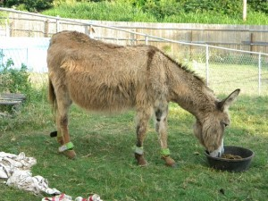 This 18 year old Miniature Donkey Blanche came in extremely emaciated and in critical condition. Upon veterinary examination, it was clear that she had miscarried a foal shortly before coming into rescue and hemorrhaged with a lot of trauma to her uterus.