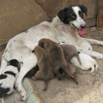A mother dog cares for her pups at the shelter
