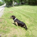 This perfect dog who once ran now struggles. One day we hope she will effortlessly cross small inclines like this one.