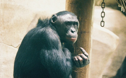 Chimp Uses Sign Language