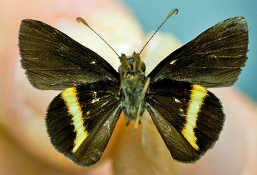 Jamaican Skipper Butterfly