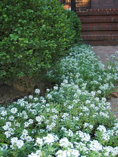 alyssum groundcover