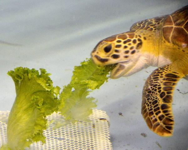 52 Sea Turtles Converge on Florida Sand and Swim Free  918_5417-e1369073131187