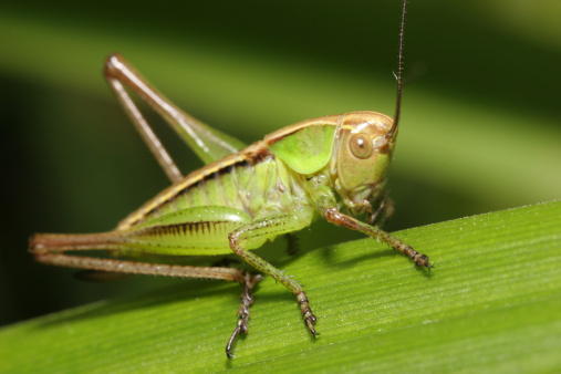 edible insects - crickets
