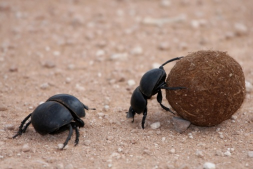 Edible Insects, Dung Beetles