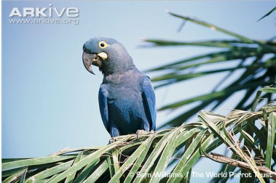 lears macaw