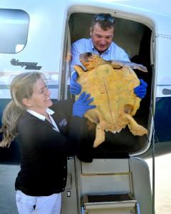 52 Sea Turtles Converge on Florida Sand and Swim Free  Plane-240x300